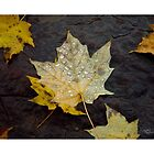 Dew Drop Maple Leaves by Christina Spiegeland