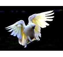 Sulphur Crested in Flight II Photographic Print