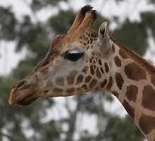 How's the air up there?   Giraffe at Adelaide Zoo by Glynn Jackson