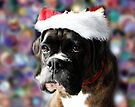 The Colour Of Christmas - Boxer Dogs Series by Evita
