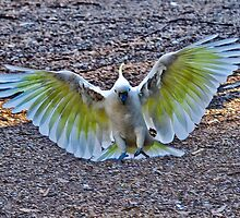 Sulphur Crested in Flight III by Tom Newman