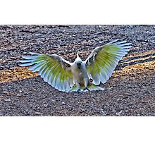 Sulphur Crested in Flight III Photographic Print