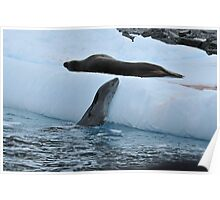 Sea leopards in the Peninsula Antarctica Poster