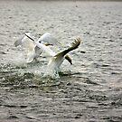 Swan Lake by Trevor Kersley