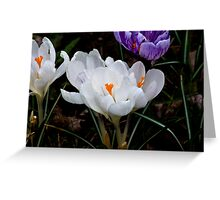 Crocus #2 Greeting Card