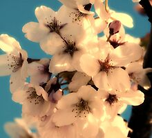 Spring Blossoms by Jack McCallum