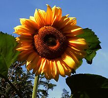 Giant Sunflower by Heidi Mooney-Hill