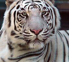 Eye of the Tiger by John Gaffen
