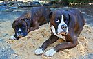 Just trying to help!  -Boxer Dogs Series- by Evita