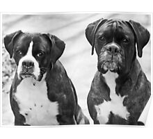Portrait of 2 boxers -Boxer Dogs Series- Poster