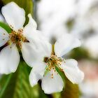 Prunus serrulata by mikepom