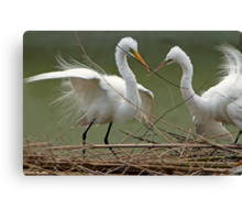 Avery Island Egrets--Teamwork Canvas Print