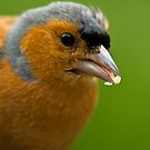 Chaffinch eating by Gabor Pozsgai