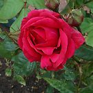 Beauty in Minature - Red Rose After Rain by kathrynsgallery