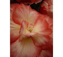 Begonia - 11 Photographic Print