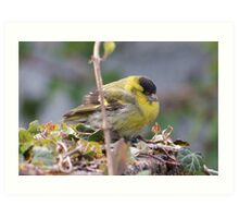 Soggy Siskin drying out. Art Print