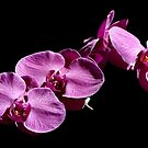 Orchid IV by bkphoto