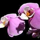 Orchid III by bkphoto