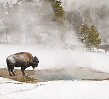 Bison Keeping Warm, Yellowstone National Park by Gary Lengyel