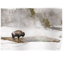 Bison Keeping Warm, Yellowstone National Park Poster