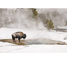 Bison Keeping Warm, Yellowstone National Park Photographic Print