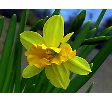Fresh New Yellow Narcissus Photographic Print