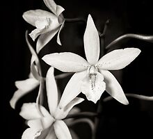 Orchids by Claudia Kuhn