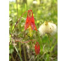 Red Columbine - Flowers in West Virginia Photographic Print