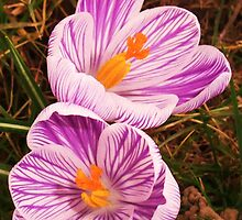 Crocus Back To Back by MichelleRees