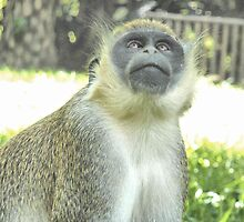 Green Monkey. by Lilian Marshall