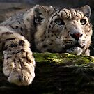 Snow Leopard in Evening Light by HadleyWildlife