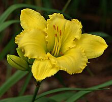 Yellow Daylily by Sandy Keeton