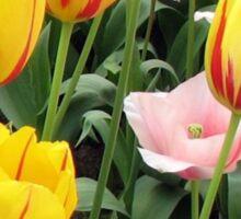 ' La Courtine' Tulips - Keukenhof Gardens Sticker
