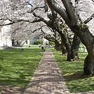 Cherry Trees Over Path - Quad @ UW, Spring 2009 by nicholasclewis