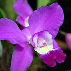 Orchid in Purple & Black  by Tina Longwell