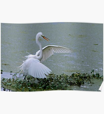 Avery Island Egrets--Stick Fisherman Poster