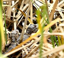 Little Gators by Howard & Rebecca Taylor
