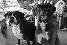 """Did Someone Said """"Presents"""" ?  -Boxer Dogs Series- by Evita"""