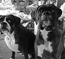 "Did Someone Said ""Presents"" ?  -Boxer Dogs Series- by Evita"