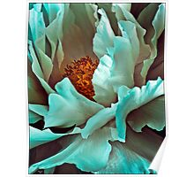 White Peony Petals Poster