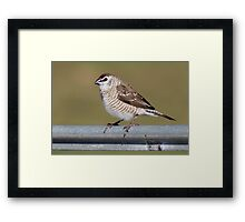 Plum-headed Finch Framed Print