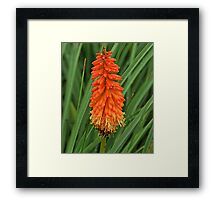Torch Lily Framed Print