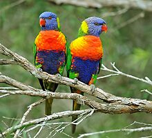 Rainbow Lorikeets. Brisbane, Queensland,  Australia by Ralph de Zilva