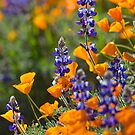Lupines and Poppies by David Orias