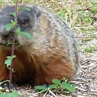 Ground Hog. (Whistle pig) by MaeBelle