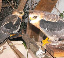 a couple of falcons by chave