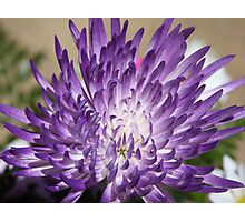 *Purple Mum* Photographic Print