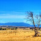 A lonely tree near Evandale, Tasmania by Elana Bailey