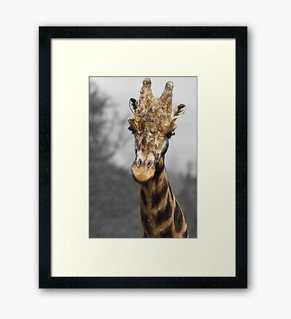 Giraffe at west midlands safari park Framed Print