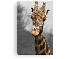 Giraffe at west midlands safari park Canvas Print